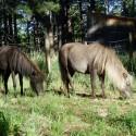Minis grazing
