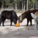Yummy-minis-pumpkins